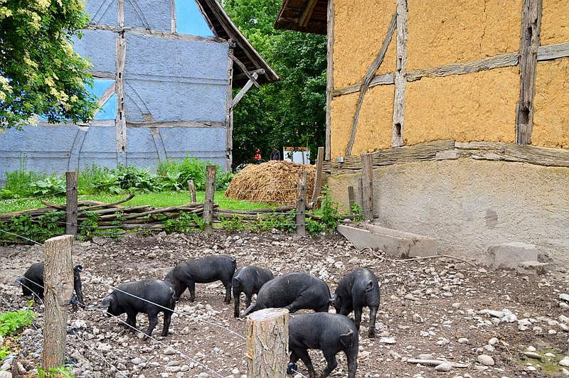Ecomusee Schweine